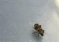 花绒寄甲成虫